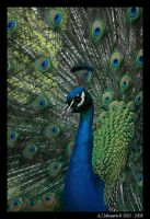Peacock Portrait by andy-j-s
