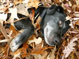 Dog in Leaves by Ben3418