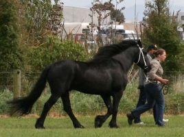 friesian walking 2007 2 by moonfeather