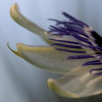 Passion flower by Carlosfandango