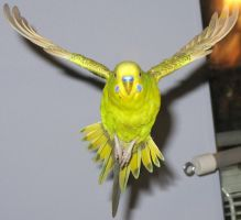 Budgie in flight 3 by greencheek
