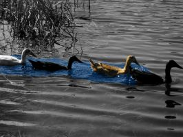 Duck Spreading Color In A Gray World by RottingBeefCarcasses
