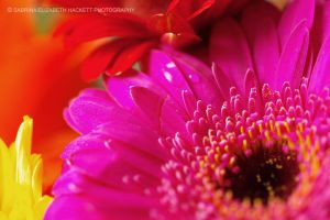 Four Gerbera Shades by Hitomii
