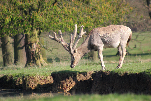 Pere David's Deer by S4MMY4RT