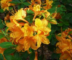 ....,Native Azalea...,,, by duggiehoo