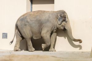 Elephant by Fotostyle-Schindler