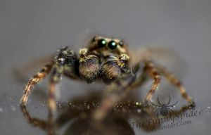 Pedipalps of a Male Marpissa Muscosa by TheFunnySpider