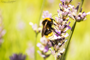 Bee at Work 2 by AndrewFletcher