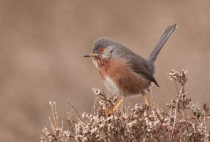 Cutiepie lol - Dartford Warbler by Jamie-MacArthur