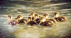 Ducklings by KXZXW