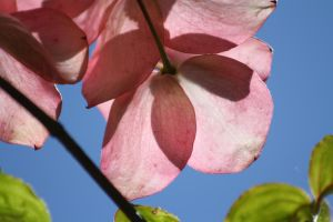 Pink Dogwood by Cia81