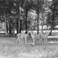 B-W Deer Medium Format by SteveMcClelland