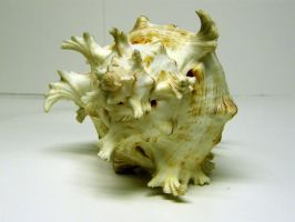 Conch Shell Stock4 by D-is-for-Duck