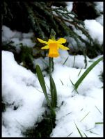 Cold Daffodil by Meados