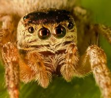 Jumping Spider Portrait by Amaviael