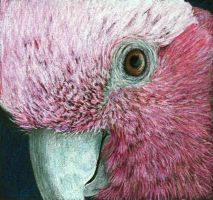 Curious galah by shanskala