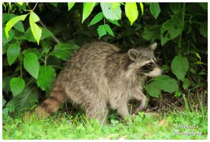 A Raccoon In My Backyard by TheMan268