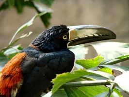 Exotic Beauty - Aracari by roamingtigress