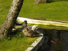 Mr and Mrs Duck by GothicKitta