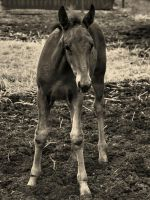 Young Foal by Bluebuterfly72