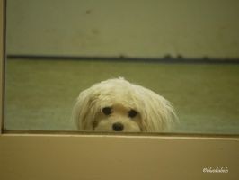 How much is that Doggy in the Window by bluediabolo