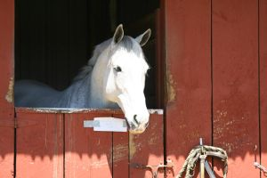 Gray Horse in Red Barn by HorseStockPhotos