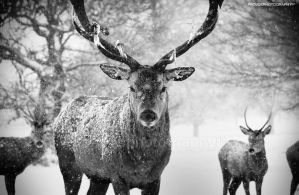 Red deer stag and his boys by projoe45