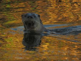 Otter In Autumn Reflections by Glacierman54