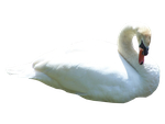 Swan PNG.. by Alz-Stock-and-Art