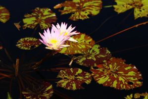 Water Lily Series  4306 by Doumanis