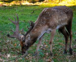 Mesopotamian fallow deer by TheFunnySpider