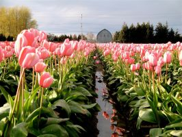 Tulip Festival by bandoodie