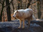 Arctic wolf III by tuner2006