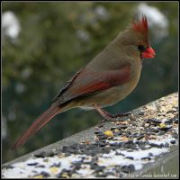 Mrs.Cardinal was back too by Lou-in-Canada