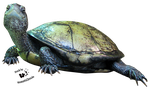 Cut-out stock PNG 53 - sweet little tortoise by Momotte2stocks