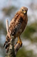 The Hawk by Macro-photo14
