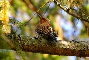 Young Northern Flicker. by sweatangel