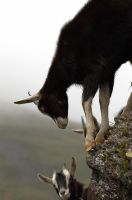 Goats by T774