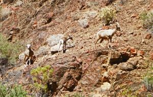 Bighorn Sheep in Grand Canyon by Synaptica