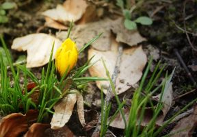 first crocus flower by Nexu4