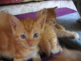 Kittens by Ameira