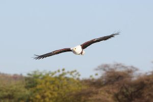 African Fish Eagle I by spooky-amateur