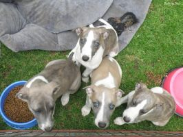 Whippet Puppy Group Photo I by robynx13