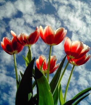 Tulips by ram-photography