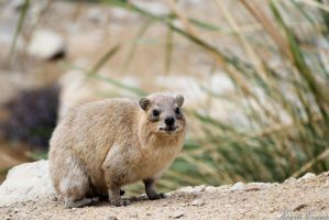 Syrian Rock Hyrax is watching you by justrussian