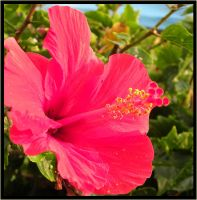 Hibiscus by dolphingirl0113