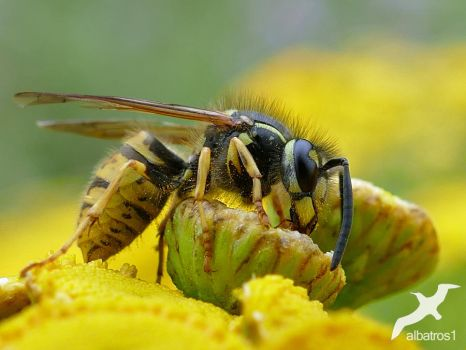 Wasp by albatros1
