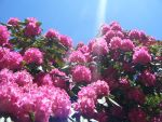 Rhodedendron Sunlight by Bookworm48
