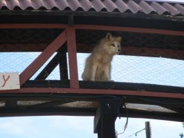 Colorado Wolf and Wildlife Center_54 by LumiTheWolf