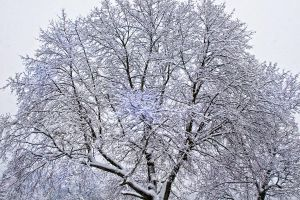 Snowy Treetops by muffet1